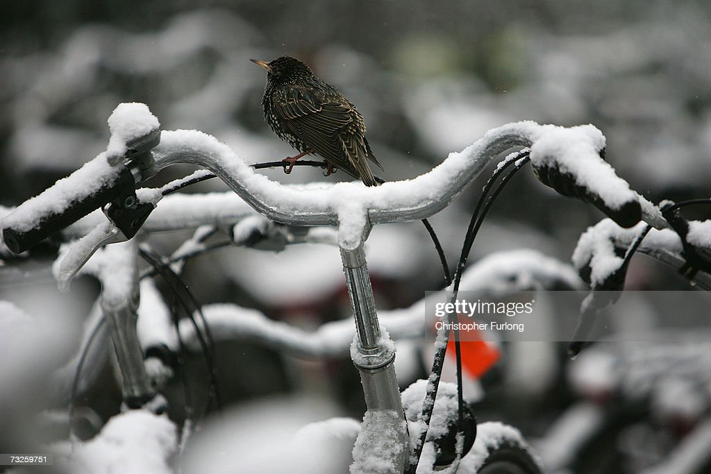 A bird perches on a snow covered bicycle on February 8, 2007, in Amsterdam, Netherlands. The Dutch transport system has suffered delays across the country, with an expected 5-10 centimetres due to fall, according to The Dutch Meteorological Institute.
