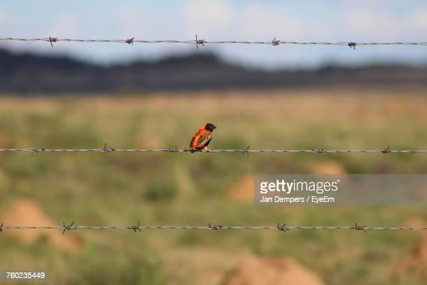 Bird Perching On Barbed Wire Fence