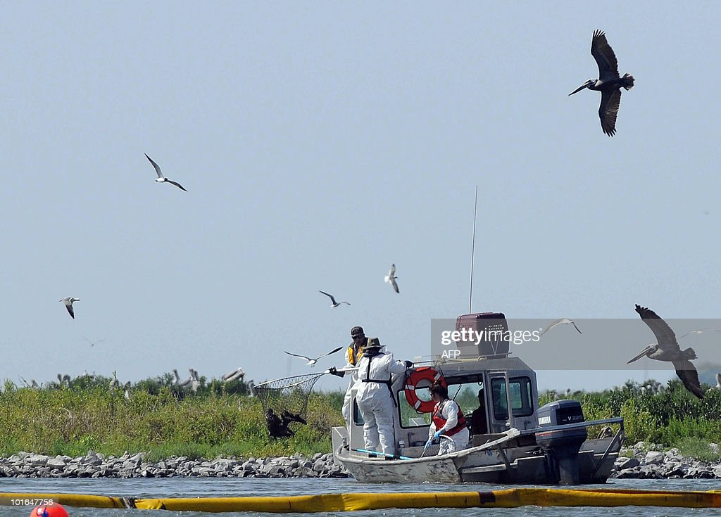 Bird rescuers capture an oil soaked pelican into a net on Queen Bess Island off of Grand Isle, Louisiana, June 5, 2010. The US government will respond to complaints that not enough people are tasked with rescuing creatures soaked in oil from the Gulf of Mexico spill, a top US official pledged June 4. AFP PHOTO/Cheryl GERBER