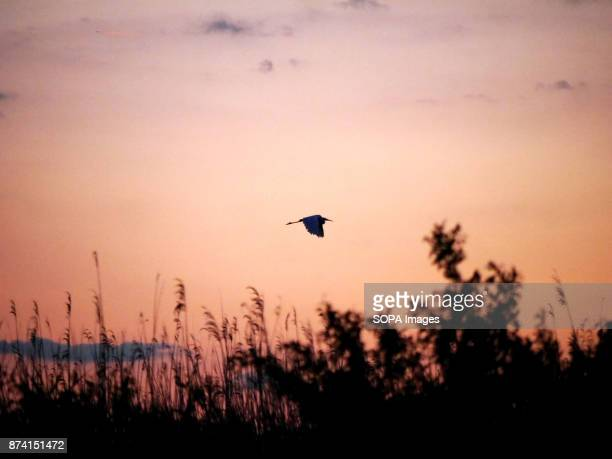 A bird seen flying during sunset In late autumn 160 000 cranes stop on lakes and fishponds in the middle of a 'puszta' how Hungarians call their...