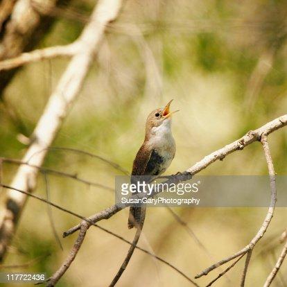 Bird song house wren