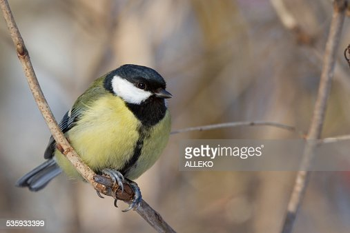 Bird titmouse sitting on branch of a tree in winter : Stock Photo
