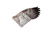 Goose bird wing cut out and isolated on a white background