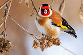 bird with a red mask sits on a dry plant , wildlife, winter survival, cold and frost