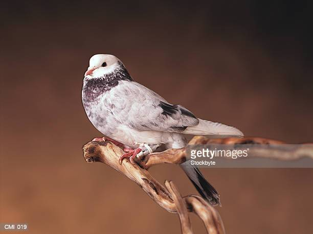 Bird with message around leg, perched on branch