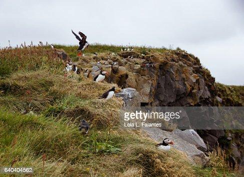 Birdlife in Reynisfjara Cliffs : Foto de stock