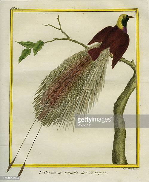 Birdofparadise ParadisaeidaeBirdofparadiseGeorgesLouis Leclerc Comte of Buffon 'Natural History of birds fish insects and reptiles' coloured and...