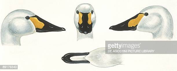 Birds Anseriformes head of Joan female Tundra Swan Wildfowl and Wetlands Trust reserve Slimbridge England illustration
