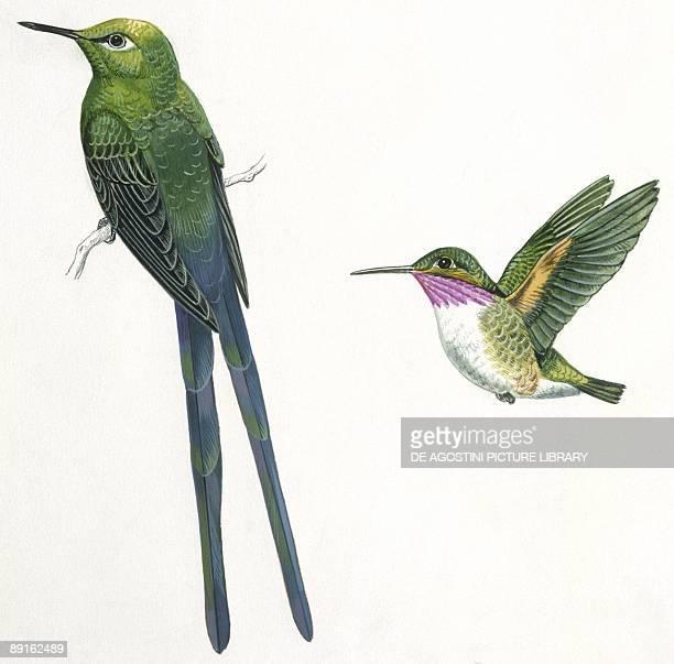 Birds Apodiformes Longtailed Sylph Calliope Hummingbird illustration