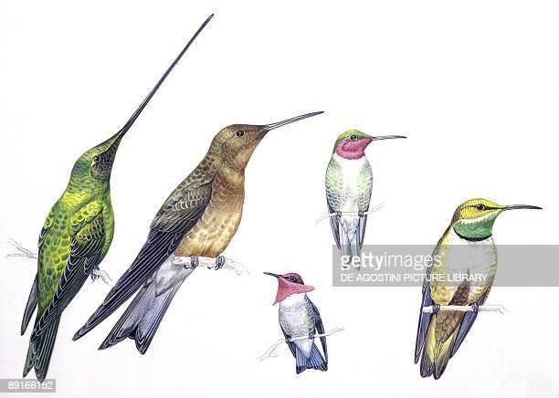 Birds Apodiformes Swordbilled Hummingbird Giant Hummingbird Rubythroated Hummingbird Bee Hummingbird Andean Hillstar illustration