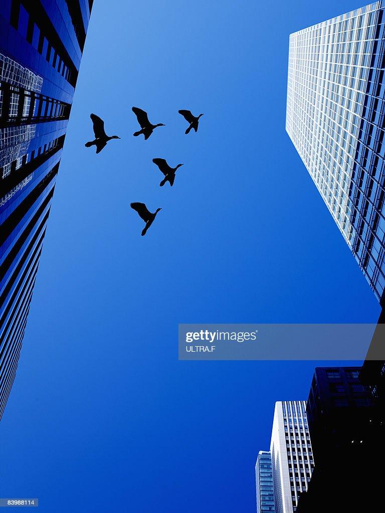 Birds are flying between buildings.