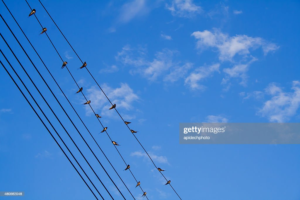 Birds are holding on power lines : Stock Photo