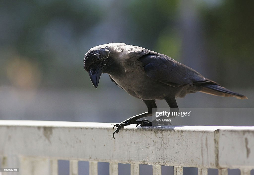 Birds are pictured as some 300 House Crows have become a nuisance at Sham Shui Po on October 3 2005 in Hong Kong China Green groups consider that the...