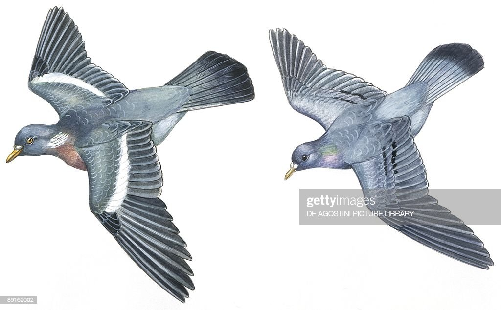 Birds Columbiformes Stock Pigeon or Stock Dove and WoodPigeon illustration