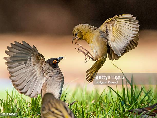 Birds competing for food in a garden, South Africa