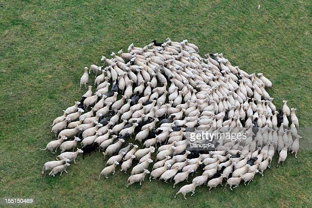 Birds eye view of a herd of sheep