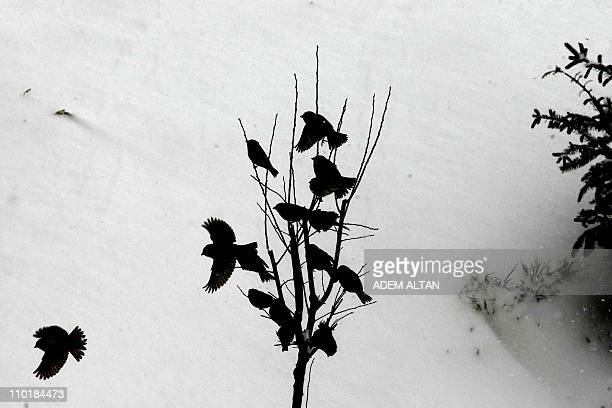 Birds fly off a tree in a snowcovered street in Ankara on March 9 2011 A cold wave that hit Turkey on March 9 brought heavy snowfalls that paralyzed...