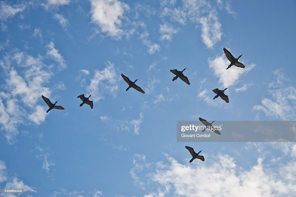 Birds flying in group