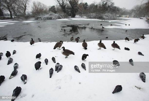 Birds gathered around a frozen pond in Finsbury Park north London