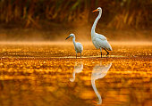 Great and little egrets in golden pond.