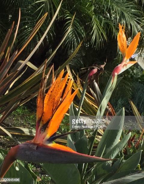Birds of paradise flowers blooming in sunlight