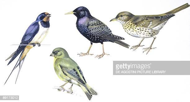 Birds Passeriformes Barn Swallow Common Starling Song Thrush and European Greenfinch illustration