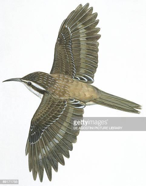 Birds Passeriformes Common Treecreeper illustration