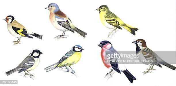 Birds Passeriformes European Goldfinch Chaffinch Eurasian Siskin Coal Tit Eurasian Bullfinch and House Sparrow illustration