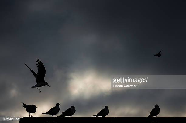 Birds sit and fly on January 21 2016 in Berlin
