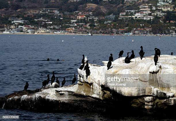 Birds sit on the rocks where the bird guano has NOT been cleaned from the rocks in La Jolla Cove on August 29 2013 The story is about what Bob Filner...