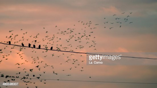 Birds (European starling) sitting on wire cable : Stock Photo