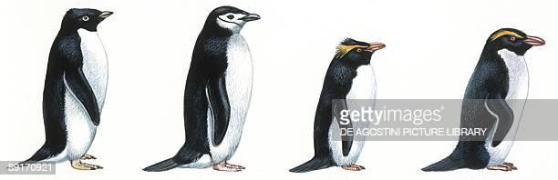 Birds Sphenisciformes Adelie Penguin Chinstrap Penguin Rockhopper Penguin and Fiordland Crested Penguin illustration