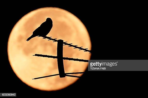A birds stands on an antenna as the full moon sets early on November 15 2016 in Rome This 'Extra Supermoon' appears 14% bigger and 30% brighter than...