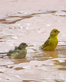 photos of birds taking a shower