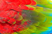 Birdwatch safari:  Blue, green and Scarlet Parrot macaw tropical bird, wing feathers pattern textured