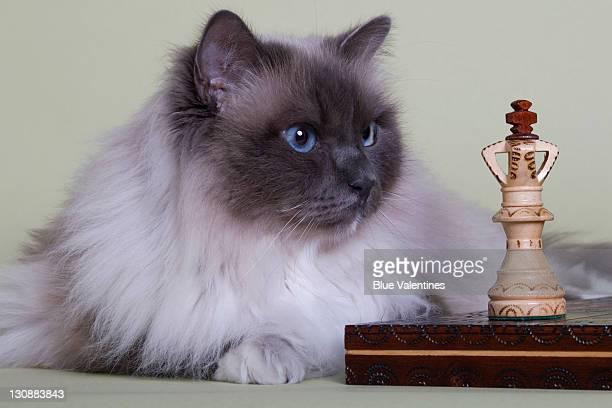 Birman cat has King piece fixed in its gaze