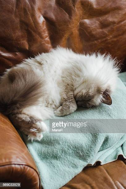 Birman cat sleeping in leather chair