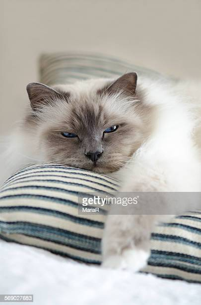 Birman cat with a relaxed attitude