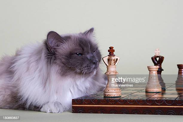 Birman cat with chess set