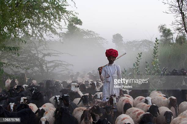 Bishnoi shepherd with sheep (Ovis aries) and goats (Capra aegagrus hircus), Rajasthan, India