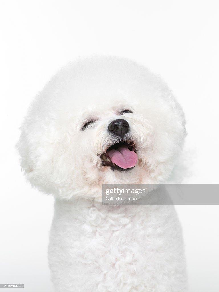 Bishon Frise Smiling on White Seamless
