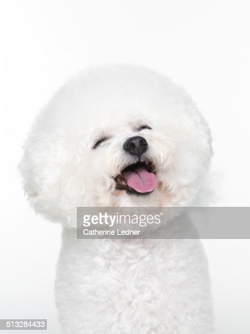 Bishon Frise Smiling on White Seamless