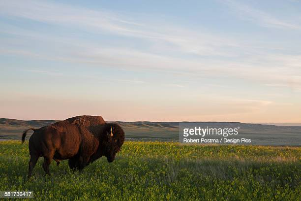 Bison at sunset, Grasslands National Park