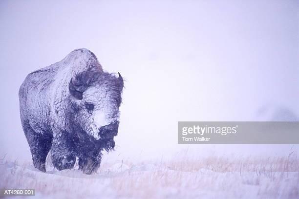 Bison bull (Bison bison) in blizzard, Wyoming, USA