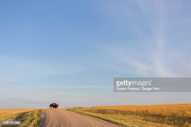 Bison (bison bison) crossing the dirt road in Grasslands National Park