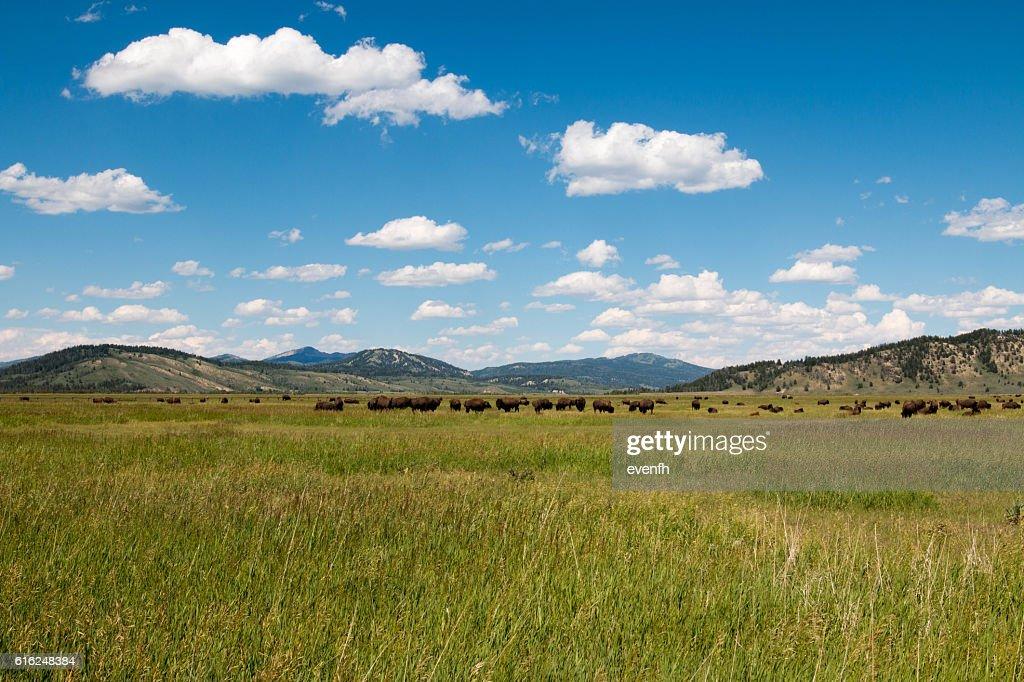 Bison grassing near Grand Teton National Park, Wyoming : Stock Photo