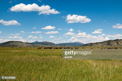 Bison grassing near Grand Teton National Park, Wyoming : Stock Photo