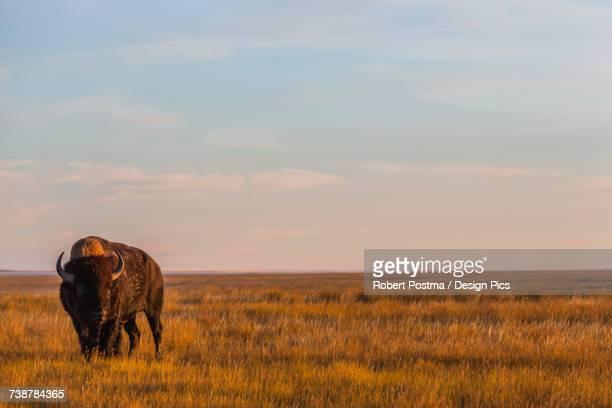 Bison (bison bison), Grasslands National Park