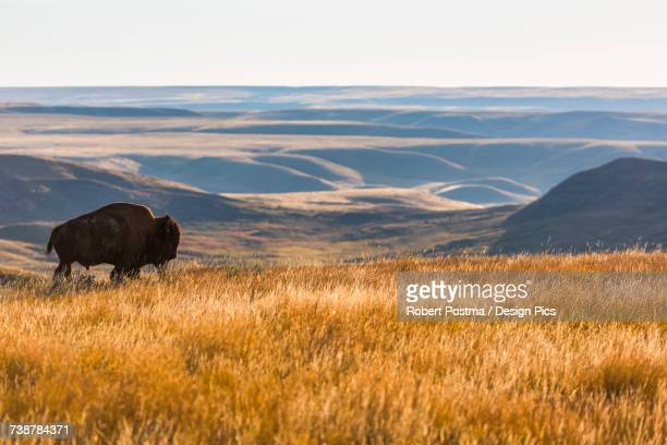 Bison (bison bison), Grasslands National Park