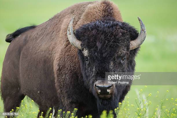 Bison, Grasslands National Park; Saskatchewan, Canada